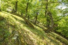 Oude eiken bomen Stock Fotografie