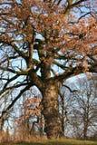 Oude eiken boom Stock Afbeeldingen