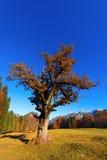 Oude eiken boom in de herfst Stock Afbeeldingen