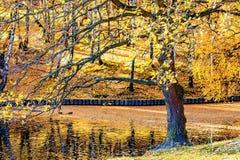 Oude eiken boom door de vijver of meer laat in de herfst Royalty-vrije Stock Foto's