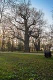 Oude eiken-boom op de achtergrond van zonsonderganghemel in de vroege lente Het museum van het Kolomenskoyelandgoed, Moskou Royalty-vrije Stock Foto's