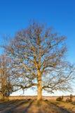 Oude eiken boom op de weide Royalty-vrije Stock Foto