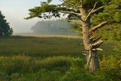Oude eiken boomzitting in een moeras met lichte mist stock afbeelding