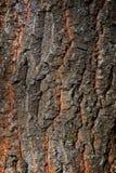 Oude eiken dichte omhooggaand van de boomboomstam (Quercus robur) royalty-vrije stock foto's