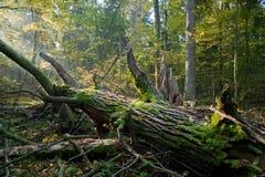 Oude eiken hierboven gebroken boom en zonnestralen Royalty-vrije Stock Afbeelding