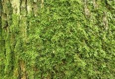 Oude eiken schors met groen mos Royalty-vrije Stock Foto's