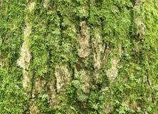 Oude eiken schors met groen mos Stock Foto's