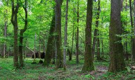 Oude els en haagbeukbomen in de lentebos Stock Foto's