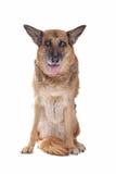 Oude en blinde Duitse herder Stock Afbeelding