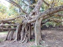 Oude en boomwortel stock foto's