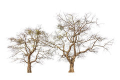 Oude en dode bomen Royalty-vrije Stock Fotografie