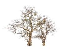 Oude en dode bomen royalty-vrije stock afbeeldingen