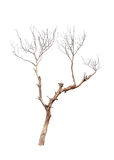 Oude en dode boom Stock Afbeelding