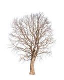 Oude en dode boom Royalty-vrije Stock Afbeeldingen