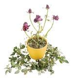 Oude en lelijke droge rozen van de achtergrond Stock Foto