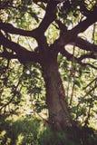 Oude en sombere vijgeboom royalty-vrije stock foto