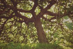 Oude en sombere vijgeboom stock fotografie