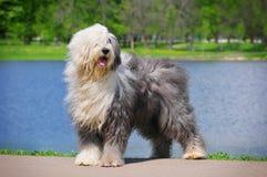 Oude Engelse herdershond royalty-vrije stock foto's