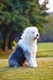 Oude Engelse herdershond 2 royalty-vrije stock afbeelding
