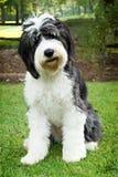Oude Engelse herdershond die zich in gras bevinden stock foto