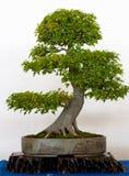 Oude esdoornboom als bonsai Stock Afbeeldingen