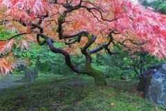 Oude Esdoornboom bij Japanse Tuin Stock Afbeeldingen