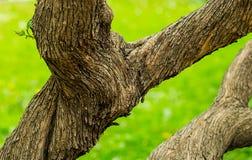 Oude fantastische verdraaiende boomboomstam met een bruine schors stock afbeelding