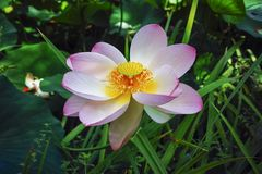 Oude flora, bloemen van grote roze lotusbloeminstallatie royalty-vrije stock foto