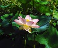 Oude flora, bloemen van grote roze lotusbloeminstallatie royalty-vrije stock fotografie
