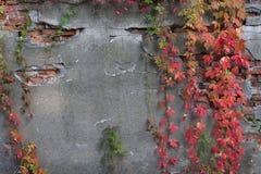 Oude gebarsten muur met klimop stock foto's