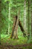 Oude gebroken boom Stock Foto