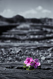 Oude gebruikte spoorwegsporen in duotone en kleine bloem in kleur AR Stock Foto's