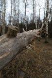 Oude gevallen rotte droge boom in het bos met berkbomen op de achtergrond - Veczemju Klintis, Letland - April 13, 2019 stock afbeelding
