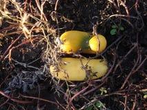 Oude geworpen gele komkommer in de tuin stock foto's
