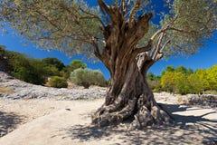 Oude groene olijfboom bij zonnige dag met blauwe hemel Stock Afbeelding