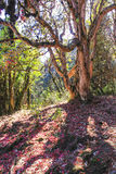 Oude grote boom en Annapurna-trekkingssleep in bos, Nepal Royalty-vrije Stock Fotografie