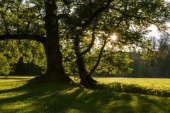 Oude grote boom in het de zomerpark met zonstralen die door takken van bomen glanzen Royalty-vrije Stock Afbeeldingen