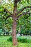 Oude grote eiken boom in het schemerige licht van de voorbijgaande de zomerdag royalty-vrije stock fotografie