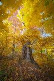 Oude grote esdoornboom in de herfstbos royalty-vrije stock foto's
