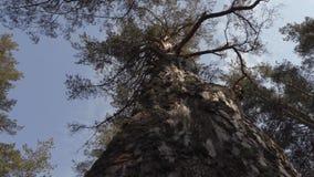 Oude grote pijnboomboom in het bos stock footage
