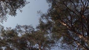 Oude grote pijnboomboom in het bos stock video