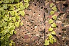Oude grungy steenmuur met groene bladeren. Stock Afbeelding
