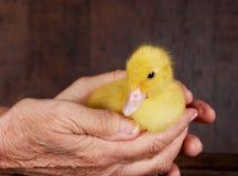 Oude handen jonge ducky Royalty-vrije Stock Foto