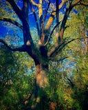 Oude heksenboom royalty-vrije stock afbeelding