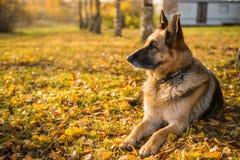 Oude herdershond bij de de herfstachtergrond stock foto's