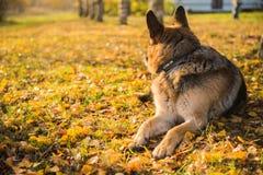Oude herdershond bij de de herfstachtergrond royalty-vrije stock foto