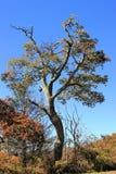 Oude het sterven boom Royalty-vrije Stock Foto's