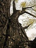 Oude hoge boom in het park Royalty-vrije Stock Afbeeldingen