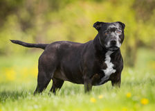 Oude Hond Royalty-vrije Stock Afbeelding