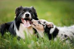 Oude hond border collie en puppy het spelen Royalty-vrije Stock Foto